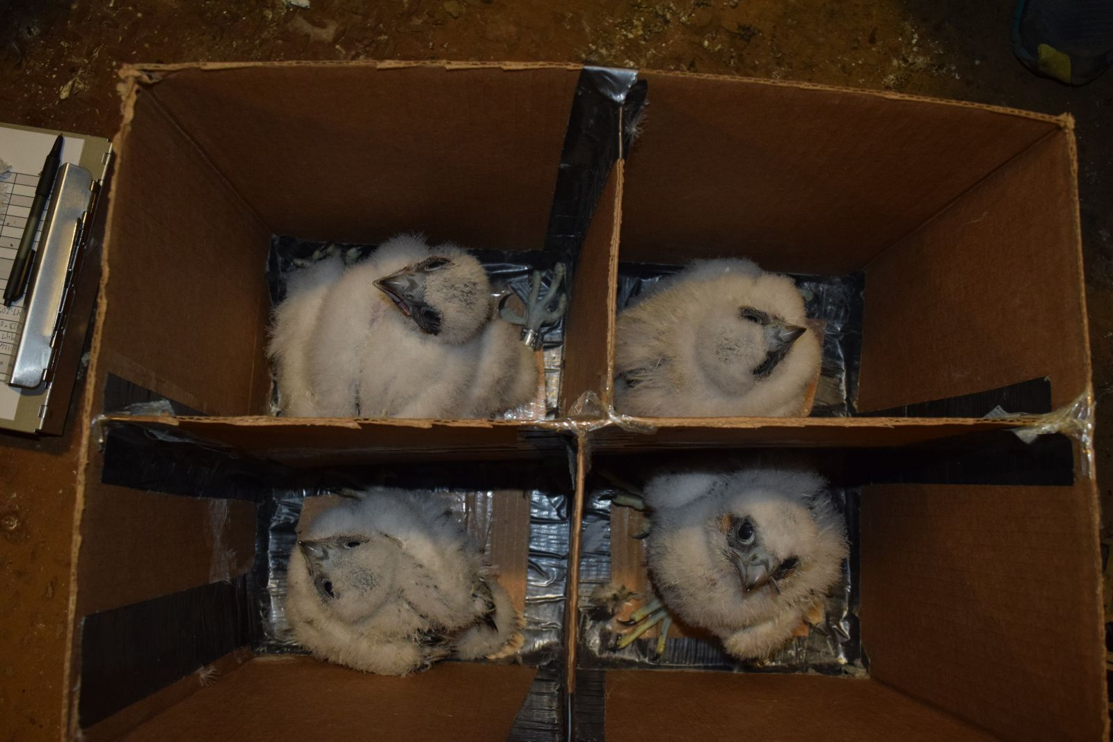 KDFWR prep Mill Creek's four peregrine falcon chicks before leaving the nest.