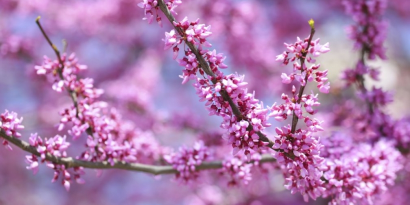 Redbud tree blooming