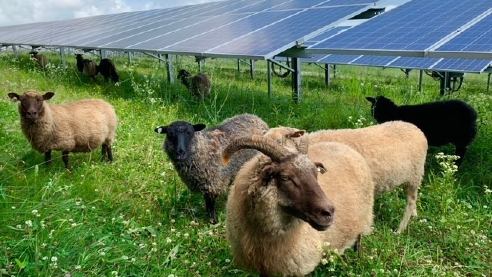 Sheep at the solar field