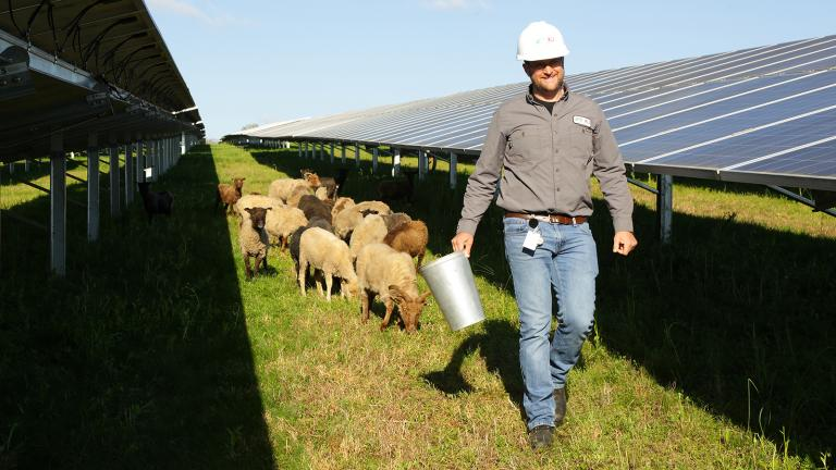 Sheep and employee on solar field E.W. Brown