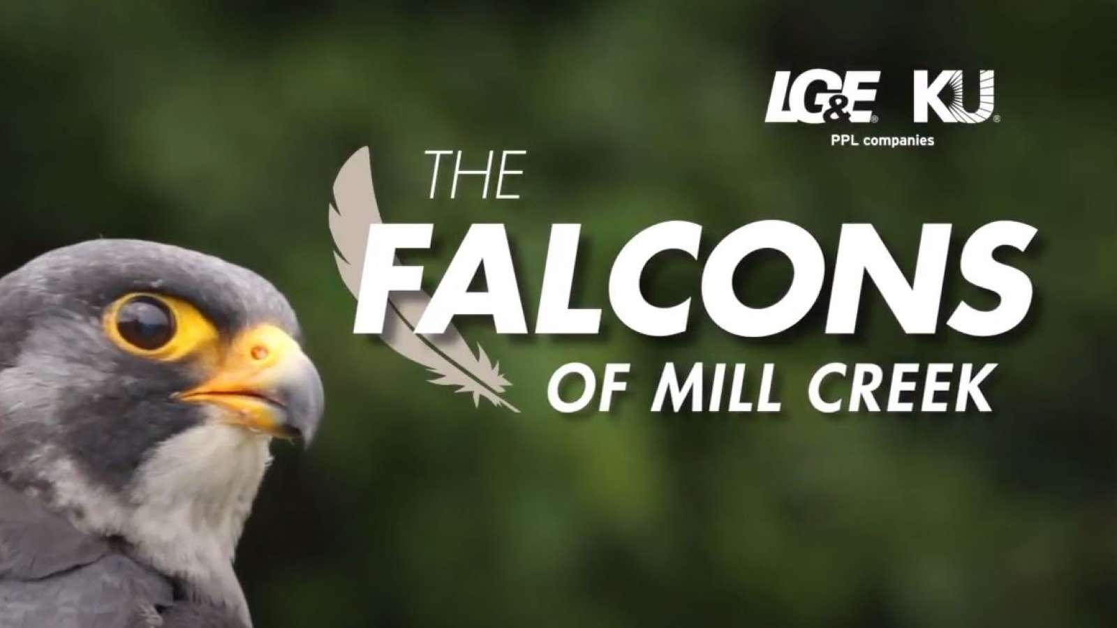 "peregrine falcon with title ""The Falcons of Mill Creek"" next to it"