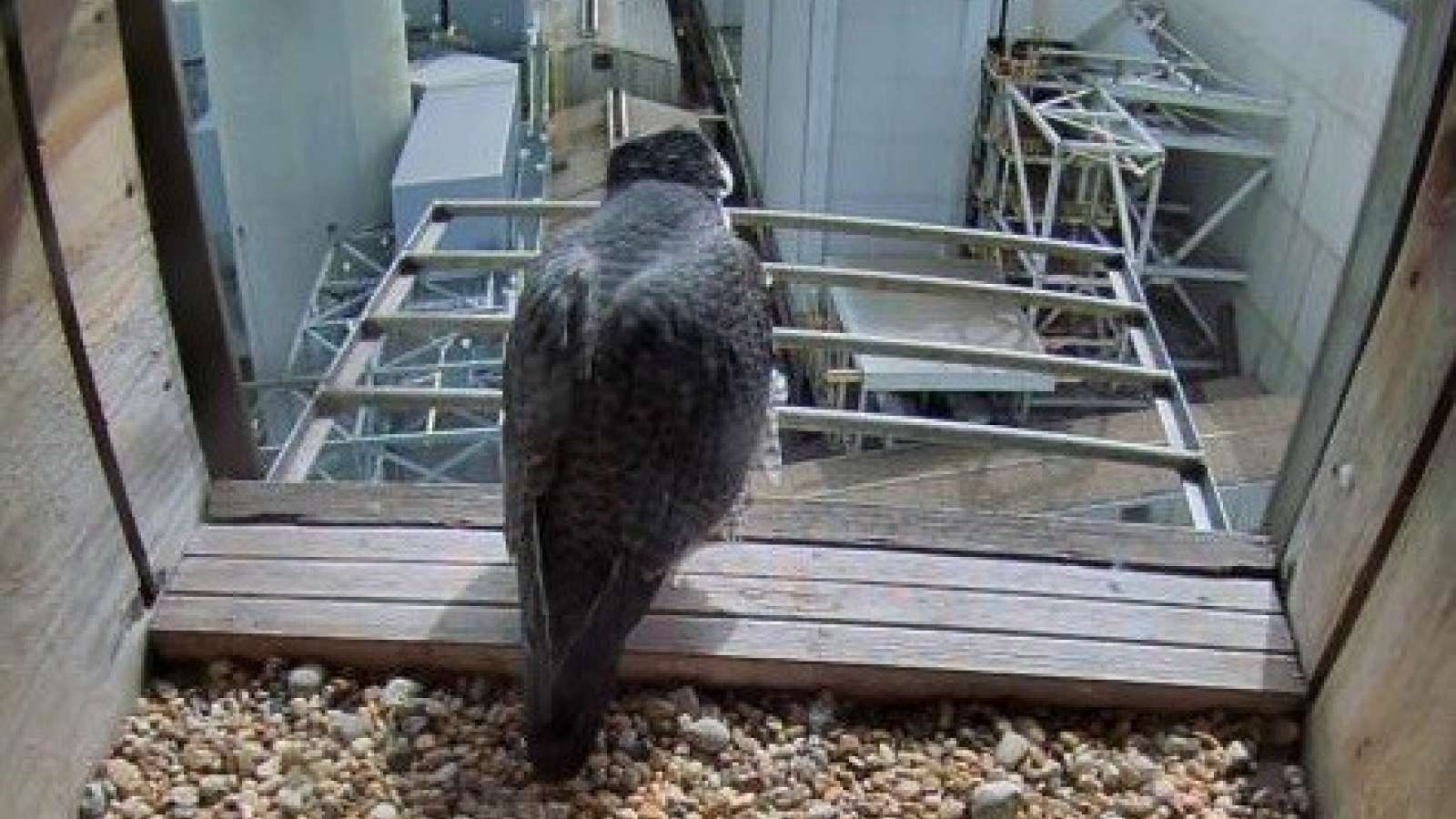 Falcon Diana sitting at the edge of the nest box
