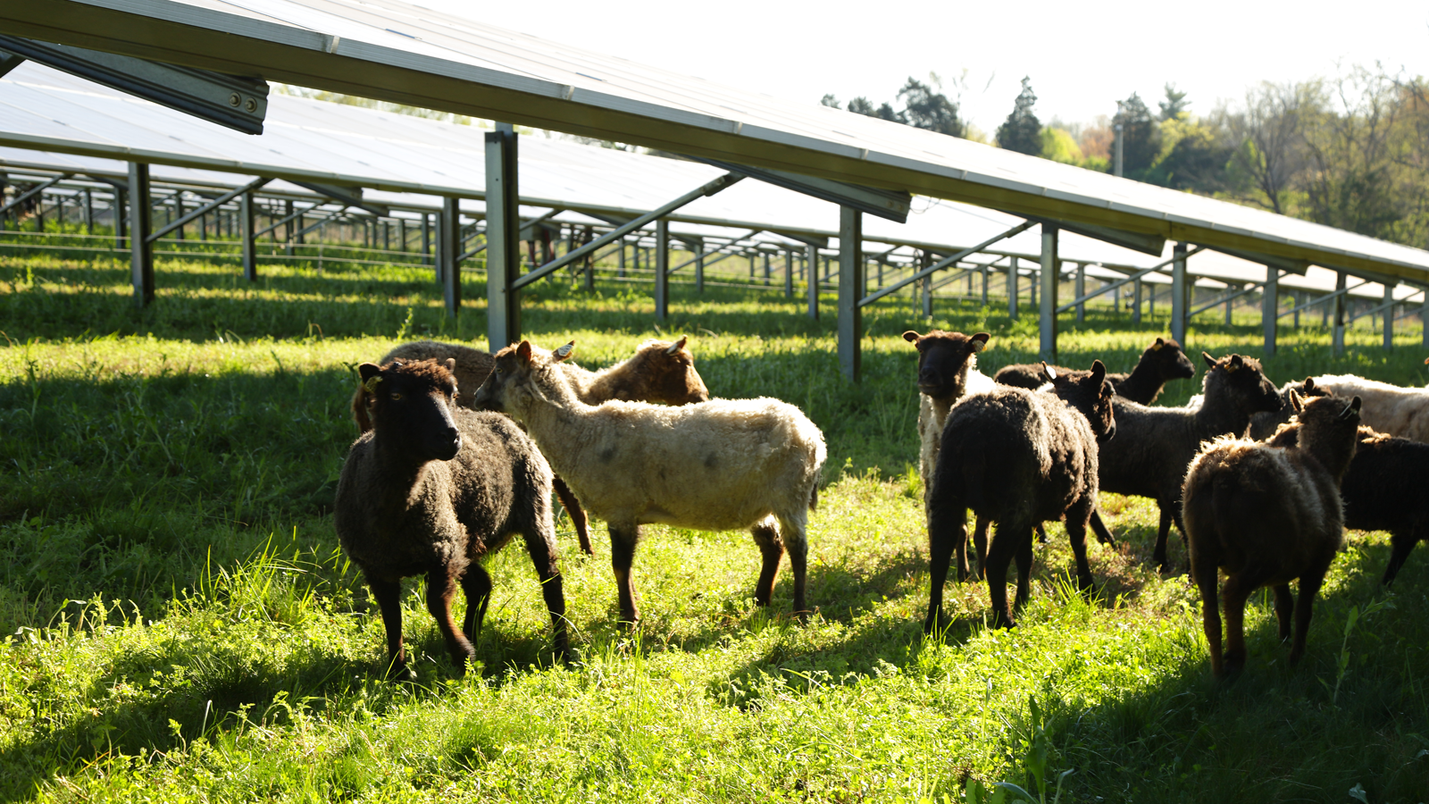sheep grazing under solar array at E.W. Brown Station