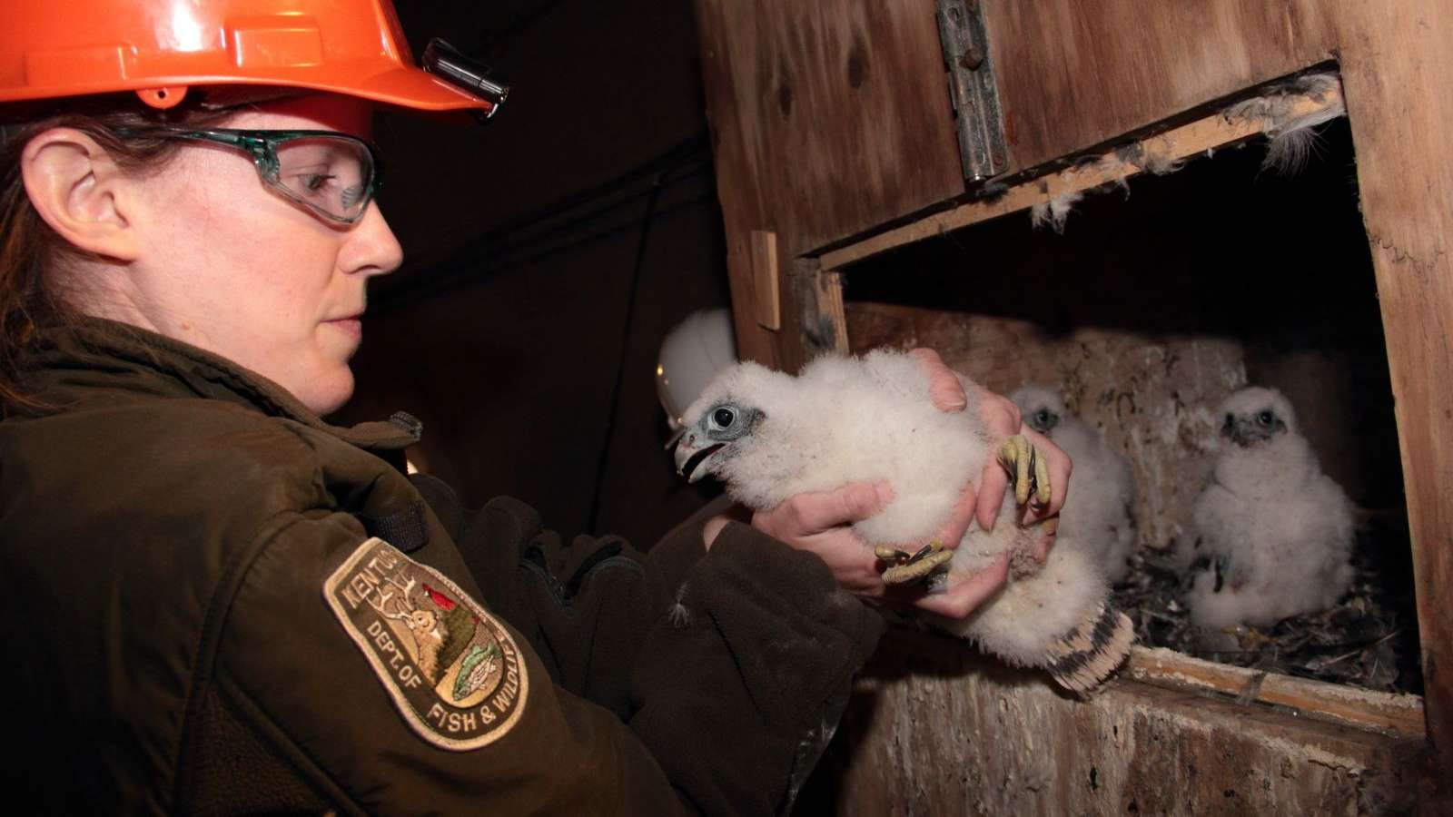 Falcon chick at Mill Cree being banded by a Kentucky Fish and Wildlife employee