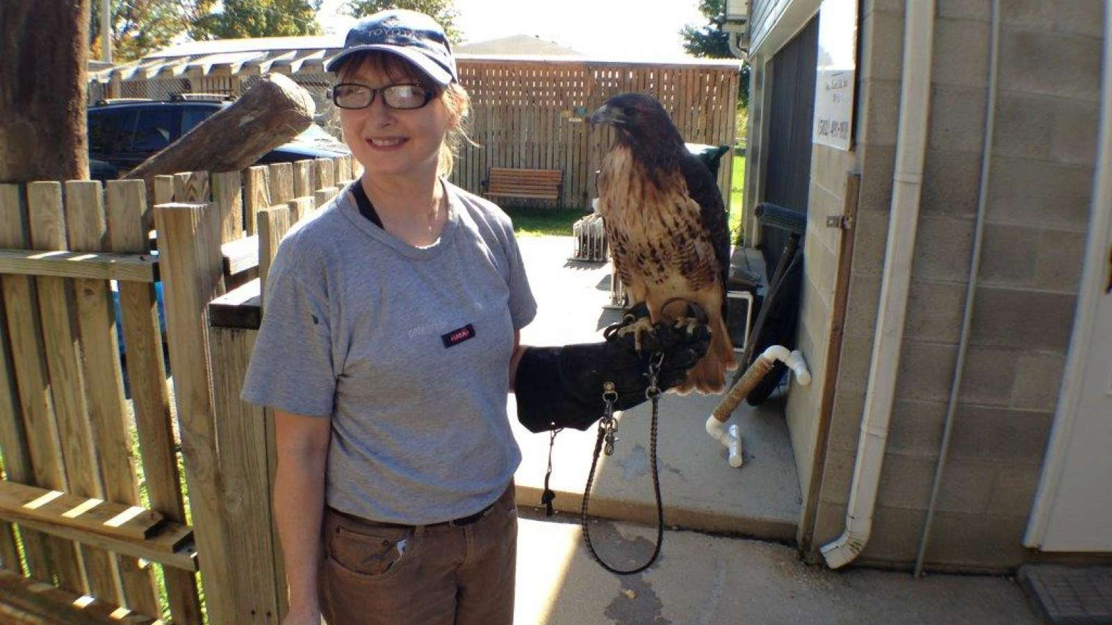 falcon on the gloved arm of a raptor rehab volunteer