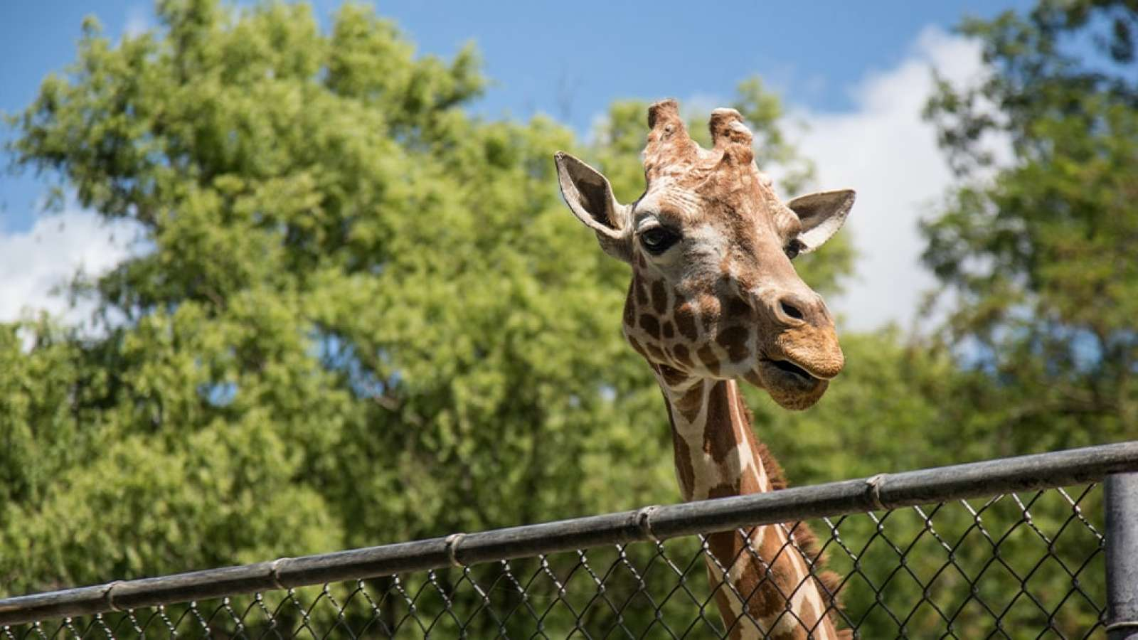 Giraffe looking over a fence