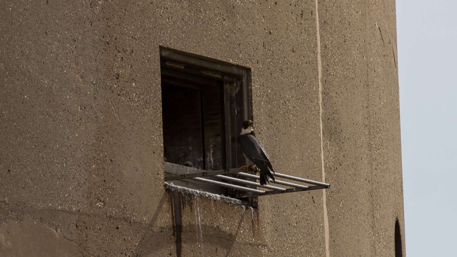 Peregrine falcon on a perch outside of a stack at Mill Creek station