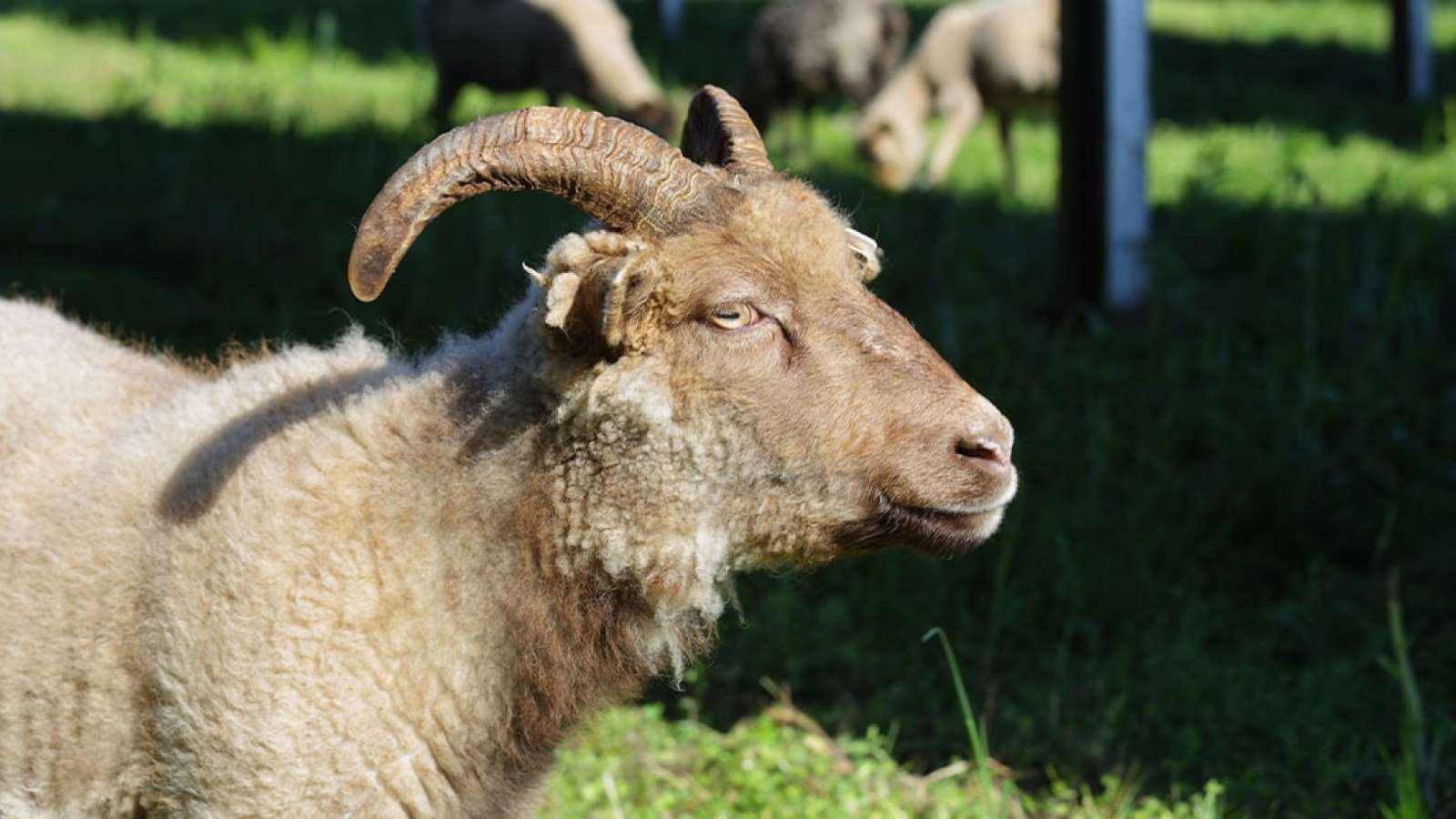 Sheep at the Solar Field