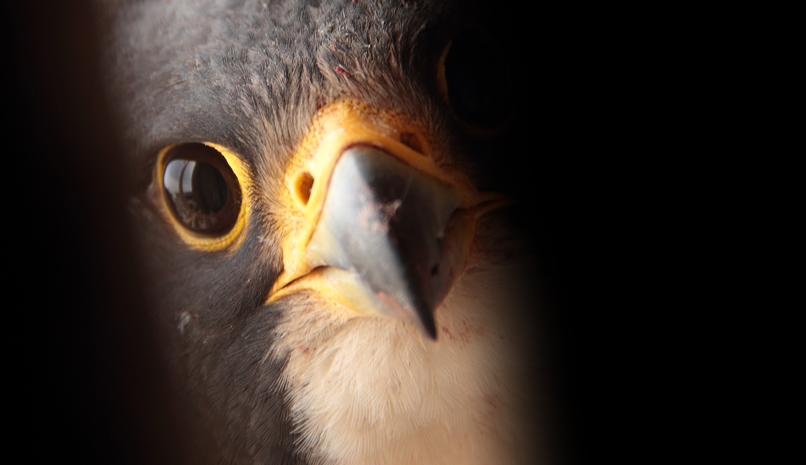 close up of falcon