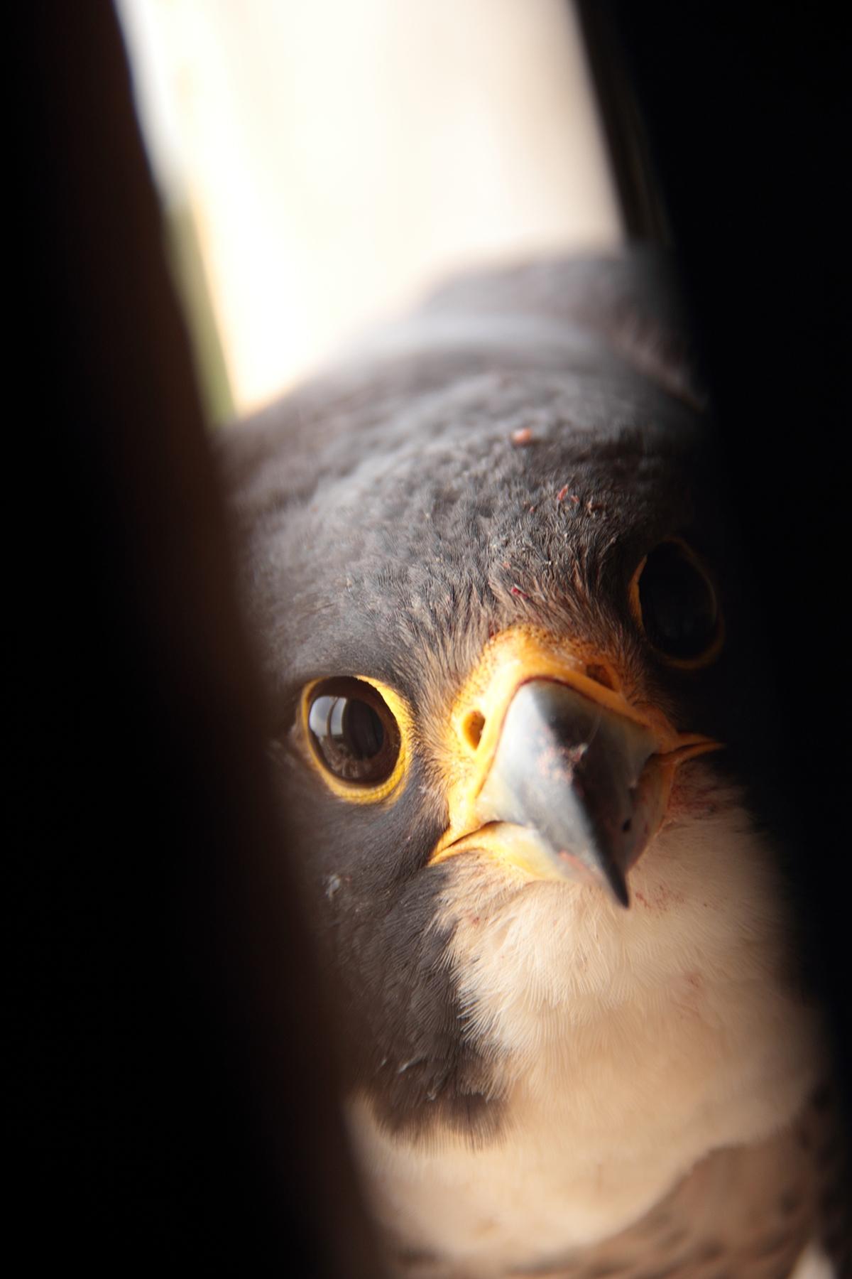 Falcon mother