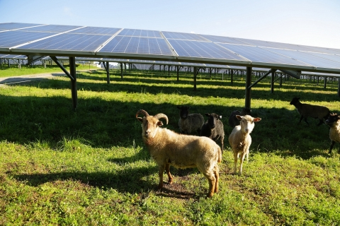 Sheep graze near a solar panel at E.W. Brown solar facility