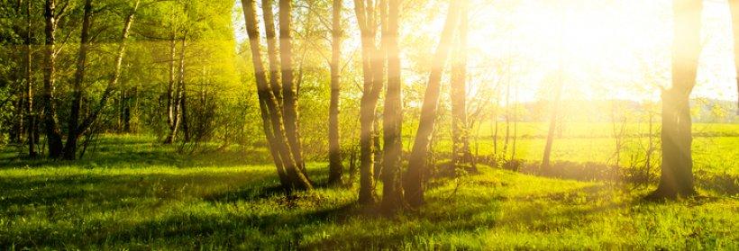 Sunrise coming through trees.