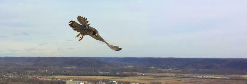 falcon flying outside Mill Creek station
